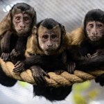 Brown Capuchin monkeys sit on a rope in an enclosure at the city zoo in Saint Petersburg on October 6, 2017.